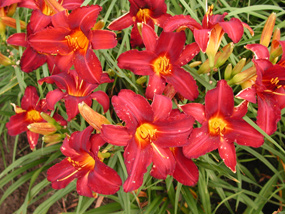 Daylily Clumps 2015: REMEMBERING GRANDMA (VT)