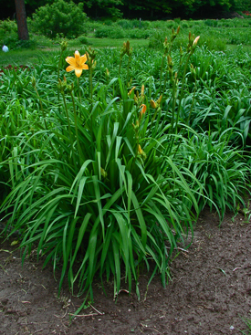 Daylily Clumps 2015: EARLIANNA