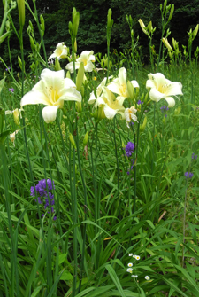 Daylily Clumps 2015: OLALLIE EARLY SNOWFALL