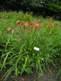 Daylily Clumps 2015: FRESH AIR