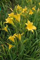 Daylily Clumps 2015: H. multiflora type