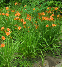 Daylily Clumps 2015: JUSTIN GEORGE