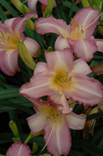 daylilies: OLALLIE ORCHID