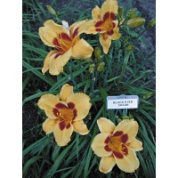 Daylily Scapes: BLACK EYED SUSAN