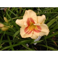 daylilies: YUPPIE SURPRISE