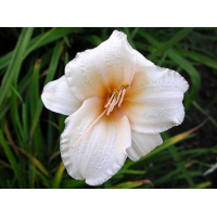 daylilies: DIMPLED CHEEKS (VT)