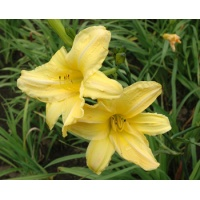 daylilies: BRIGHT IDEA (VT)