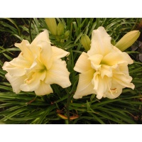 daylilies: SHAMROCK DOUBLE LEMON