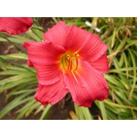 daylilies: CAROLINA CRANBERRY