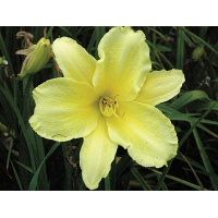 daylilies: YELLOW LION