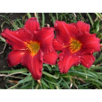 daylilies: CHICAGO APACHE