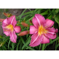 daylilies: CHICAGO ARNIE'S CHOICE