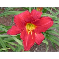 daylilies: CHICAGO ATLAS