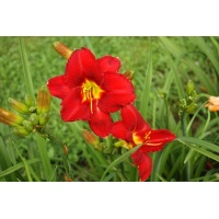 daylilies: CHICAGO ATLAS type