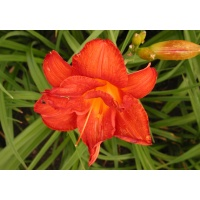 daylilies: DECATUR DOUBLE DANDY