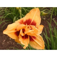 daylilies: DOUBLE BOLD ONE
