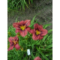 daylilies: OLALLIE BETTY GRODEN