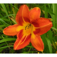 daylilies: Misc Red Tet