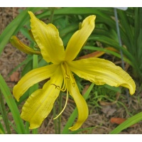 daylilies: YELLOW HORNET