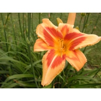 daylilies: FAR FETCHED