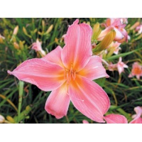 daylilies: FASHIONABLY LATE (VT)
