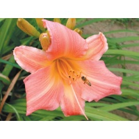 daylilies: HALL OF FAME