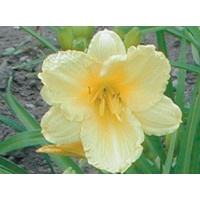 daylilies: HAPPY RETURNS