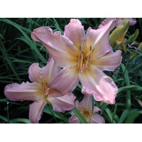 daylilies: APPLE BLOSSOM (VT)