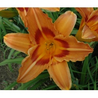 daylilies: INDIAN RIVER