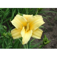 daylilies: LEMON DELIGHT (VT)