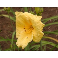 daylilies: LEMON LOLLIPOP