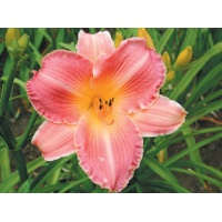 daylilies: LOVELY ROSE