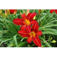 daylilies: MATCH FIRE (VT)