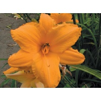 daylilies: OLALLIE BETTY