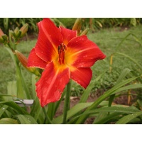 daylilies: ON FIRE