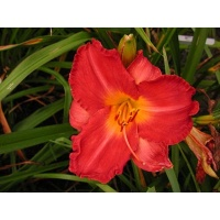 daylilies: ON THE DOUBLE