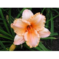 daylilies: PURE AND SIMPLE