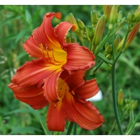daylilies: RED SENTRY