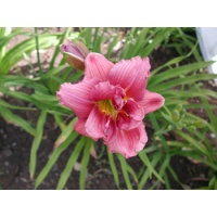 daylilies: SHAMROCK DOUBLE GRAPE