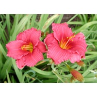 daylilies: SILOAM RED TOY