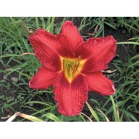 daylilies: TALL RED ROSY (VT)