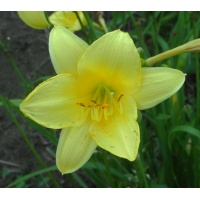 daylilies: THREE SEASONS