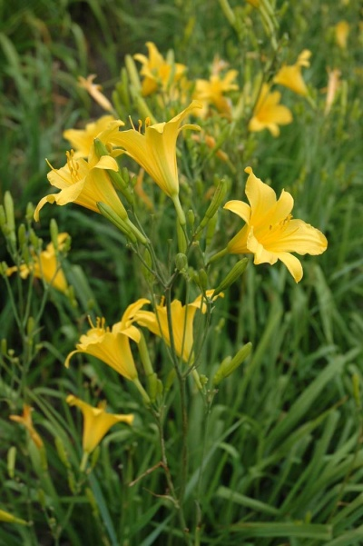 daylily blooms: H. multiflora type