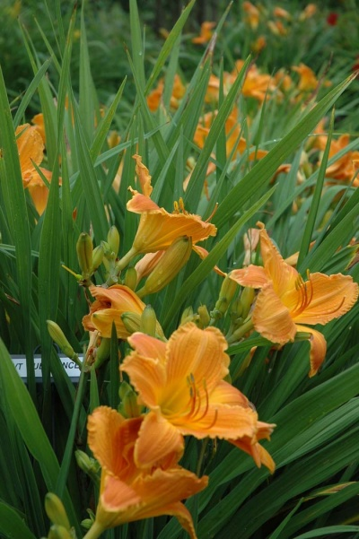 daylily blooms: SUBSTANCE (VT)