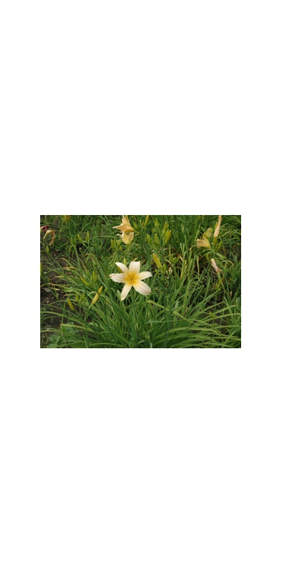 Daylily Clumps 2015: STAR CREAM RUFFLES (VT)