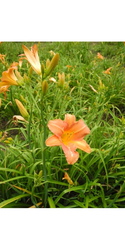 Daylily Scapes: scapesa