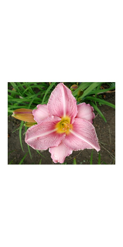 daylilies: CHICAGO ORCHID
