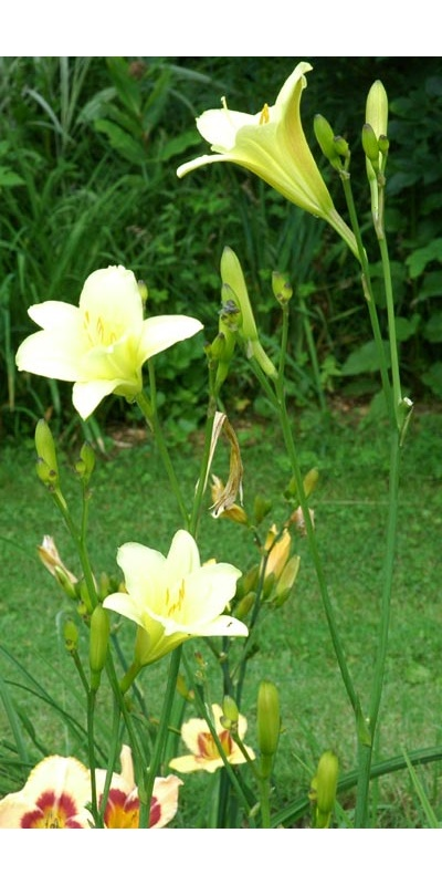 daylilies: OLALLIE LEMON TREE