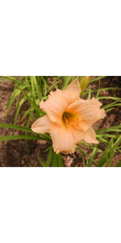daylilies: LITTLE PIPE DREAM