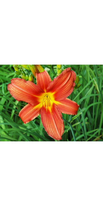 daylilies: RED SENTINEL